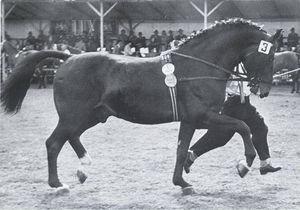 drs conquistador irish draught sport horse. Black Bedroom Furniture Sets. Home Design Ideas