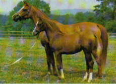 Sappho, 1971, a Hamdaniyah Simriyah, and one of the last asil mares of Crabbet breeding in the UK