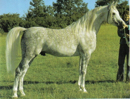Shakhs an asil Hadban stallion bred in the USA by Gleanloch Farms, and imported to the UK in 1972. His bred the mare Sappho and saved that asil Hamdani Simri line from extinction